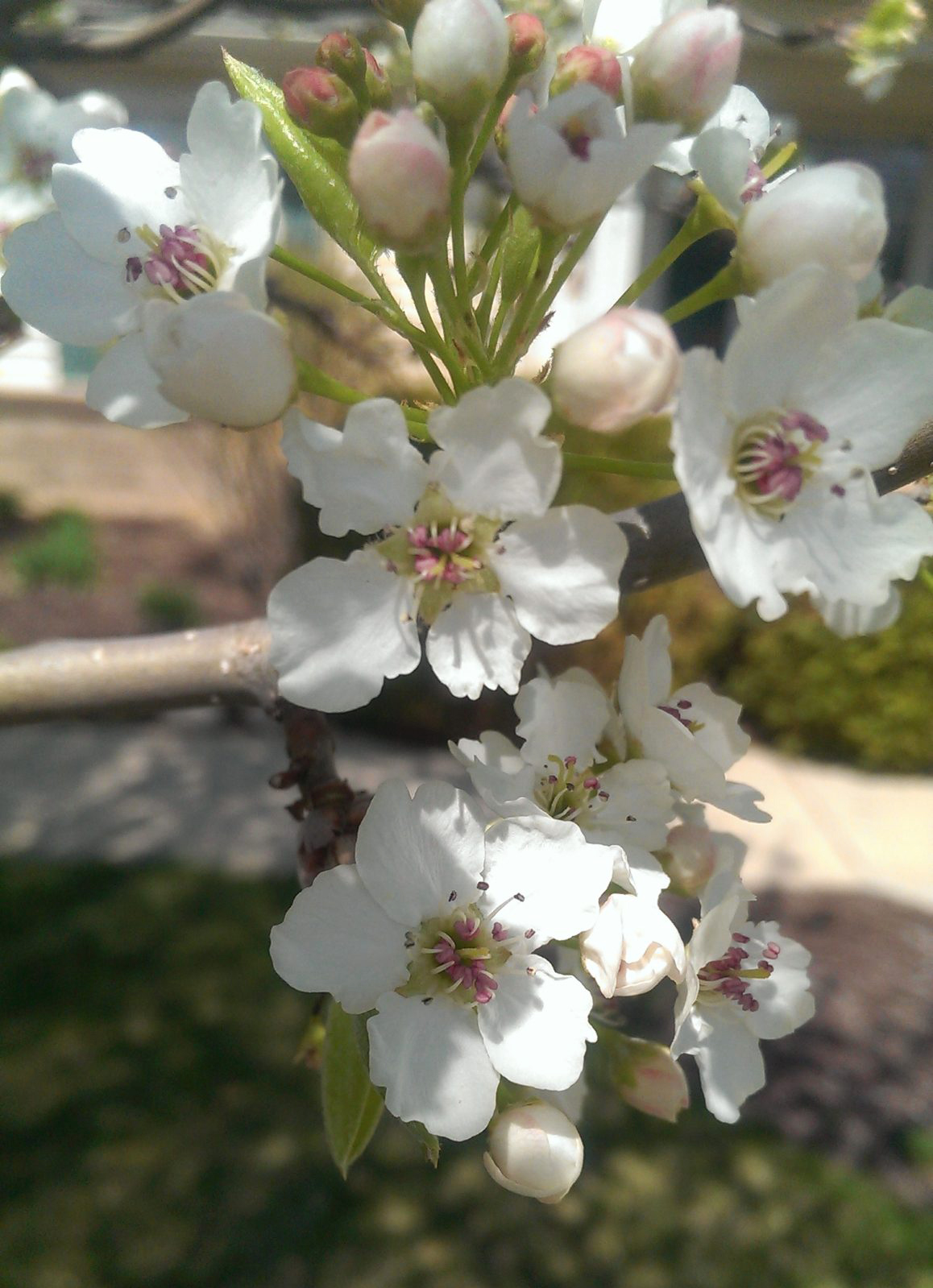 This is a picture of a Callery pear tree flower.