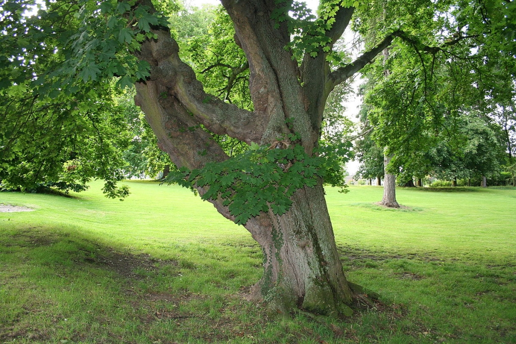 This is a picture of a Norway maple.