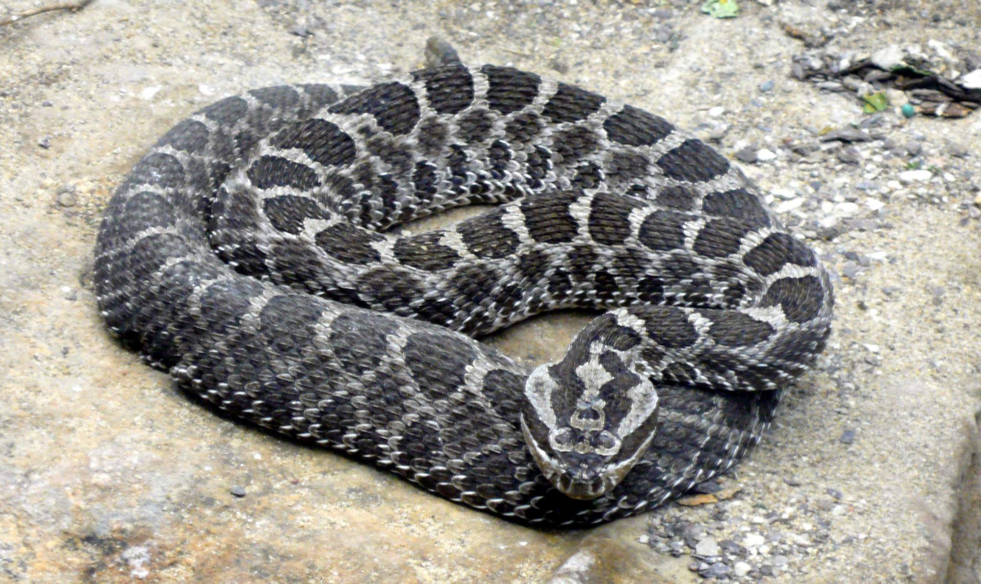 This is a picture of the threatened eastern massasauga rattlesnake.