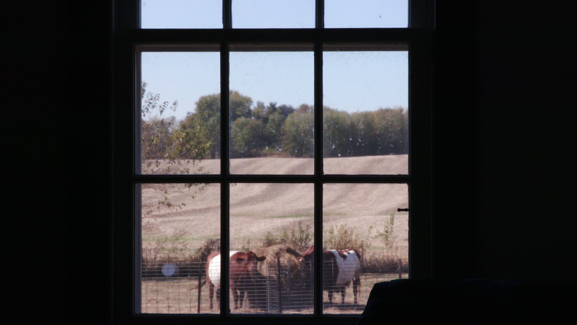 A view of cows from inside Hall's home.
